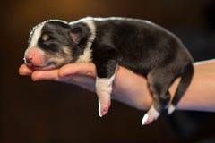 Little newborn puppy sleeping on his arm. one week Stock Photos