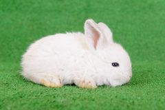 Little newborn rabbit Royalty Free Stock Photo