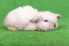 Little newborn rabbit Royalty Free Stock Image