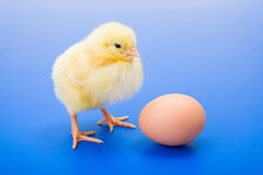 Little newborn yellow chicken with egg on blue background Royalty Free Stock Photo