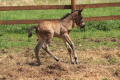 A newly born foal stock photography