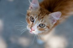 A small and cute red kitten. This is little nice red kitten. It lives in National botanical Garden and it`s very friendly for people Royalty Free Stock Images
