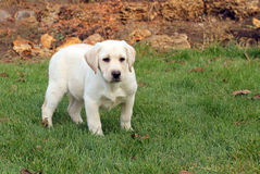 The little nice yellow labrador puppy in autumn Royalty Free Stock Photo