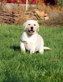 The little nice yellow labrador puppy in autumn Royalty Free Stock Photos