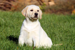 Little nice yellow labrador puppy in autumn Royalty Free Stock Images