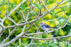 Little Northern Mockingbird standing on a tree branch stock image