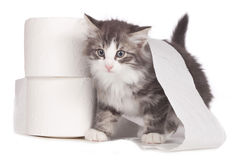 Little norwegian forest kitten with toilet paper rolls Stock Photography
