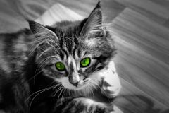 Little Norwegian kitten who rests on the ground monochrome photo and cat with colorful green eyes. A little Norwegian kitten who rests on the ground Stock Image