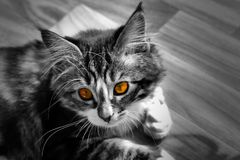 Little Norwegian kitten who rests on the ground monochrome photo and cat with colorful orange eyes. A little Norwegian kitten who rests on the ground Stock Photo