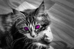 Little Norwegian kitten who rests on the ground monochrome photo and cat with colorful purple eyes. A little Norwegian kitten who rests on the ground Stock Image