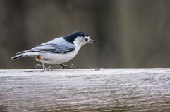 Little Nuthatch pecks at a sunflower seed. Nuthatch Bird checking out his feed Stock Images