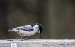 Little Nuthatch pecks at a sunflower seed. Nuthatch Bird checking out his feed Stock Photo
