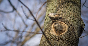 Little nuthatch sitting on tree. Little nuthatch sitting on tree Stock Image