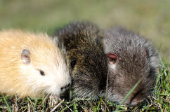 Little nutria bask in the sun Stock Photos