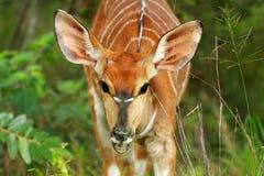 Little Nyala Royalty Free Stock Images