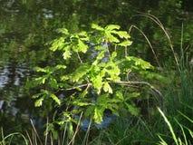 Little oak on the bank Royalty Free Stock Photo