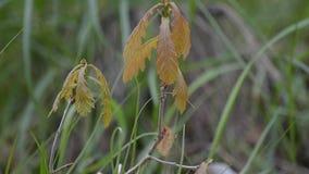 Little oak grows in grass stock video