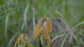 Little oak grows in grass stock video footage