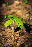 Little oak sprout Stock Photography
