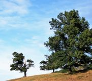 Little oak tree and large oak tree in a field of brownish grass on a Sunny late summer`s day. Blue sky, puffy white clouds, green leaves, two trees, sloping Stock Image