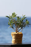 Little olive tree in a pot Stock Images