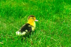 Little one duckling on a  green grass. stock photo