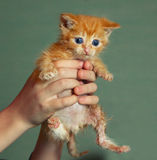 Little one month old red-haired  wet kitten Royalty Free Stock Photos