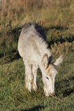 Little one. Wild Burro grazing the fresh spring grass Royalty Free Stock Photography
