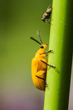 Little Orange Beetle Stock Image