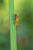 Little orange beetle on nature background Royalty Free Stock Images