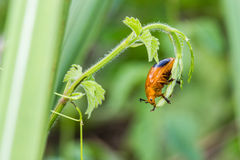 Little orange beetle on nature background Royalty Free Stock Image