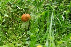 Little orange birch boletus in forest Stock Image