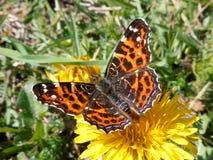 Little orange butterfly. On the dandelion Stock Photography