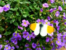 The Little Orange Butterfly. A photo of an orange-white butterfly on some small purple flowers in a garden royalty free stock photography