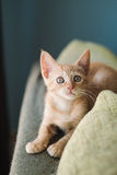 Little orange cat on the top of a couch Royalty Free Stock Images