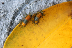 Little orange caterpillar on a yellow leaf. Royalty Free Stock Photos