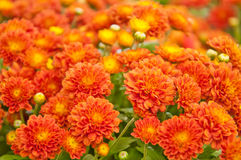 Little orange Chrysanthemum Arkivfoto