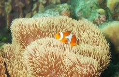 Little orange clownfish in anemones Stock Photo