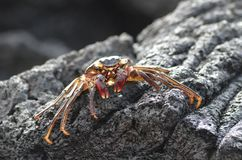 A little orange colored crab suns itself on a black volcanic rock stock images