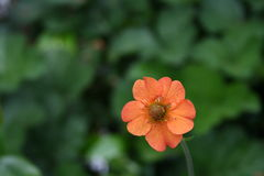 Little Orange Flower. A little orange flower with a green, blurred background Royalty Free Stock Image
