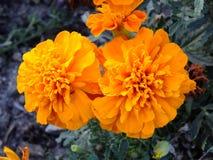 Little orange flowers Stock Photo