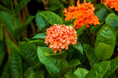 Little orange flowers of rubiaceae tree. Stock Photo