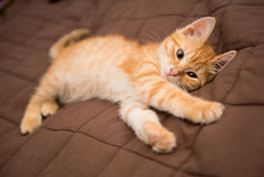 Little orange kitten Stock Image