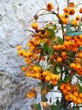 Little orange royalty free stock photo
