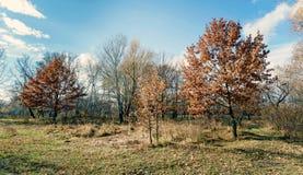 Little Orange Oak Trees in the Meadow in Autumn Royalty Free Stock Image