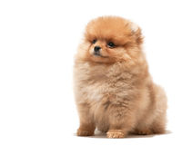 Little orange puppy Royalty Free Stock Photo