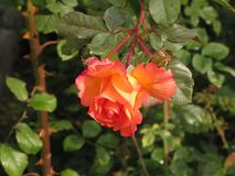Little orange rose. Autumnal little orange rose flower in the garden stock photography