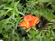 Little orange rose. Flower on the bush in the autumnal garden flowerbed royalty free stock images
