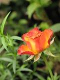 Little orange rose. Flower on the bush in the autumnal garden flowerbed, vertical shot stock photos