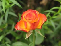 Little orange rose. Flower on the bush in the autumnal garden flowerbed royalty free stock photography